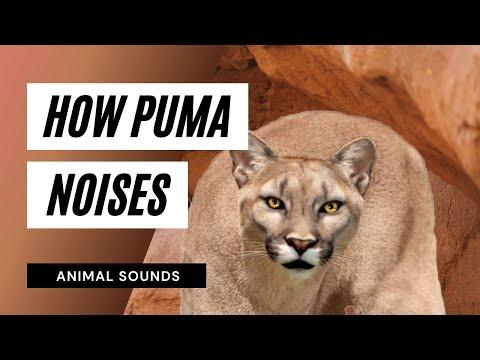 The Animal Sounds: Puma Roar - Sound Effect - Animation ...