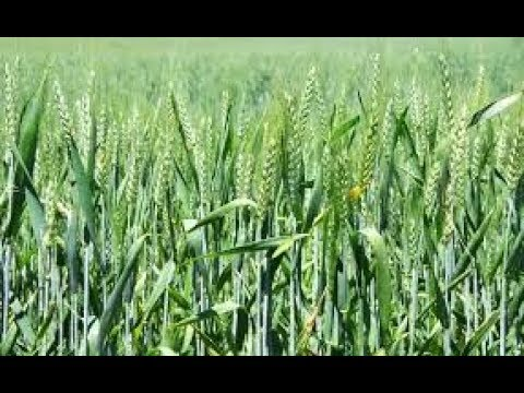 गेंहू में Zinc की कमी के लक्षण ॥Zinc deficiency in wheat
