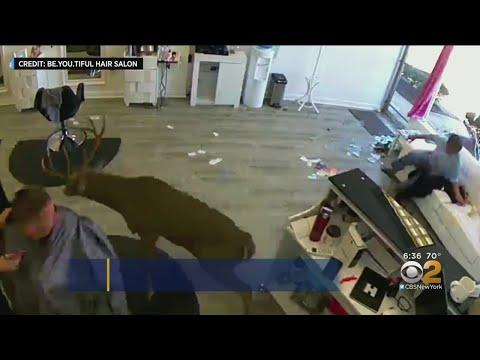 Hilary - Deer crashes through Long Island salon