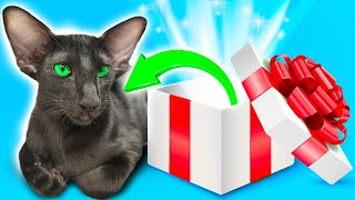 Oriental Shorthair Cat UNBOXING and REVIEW