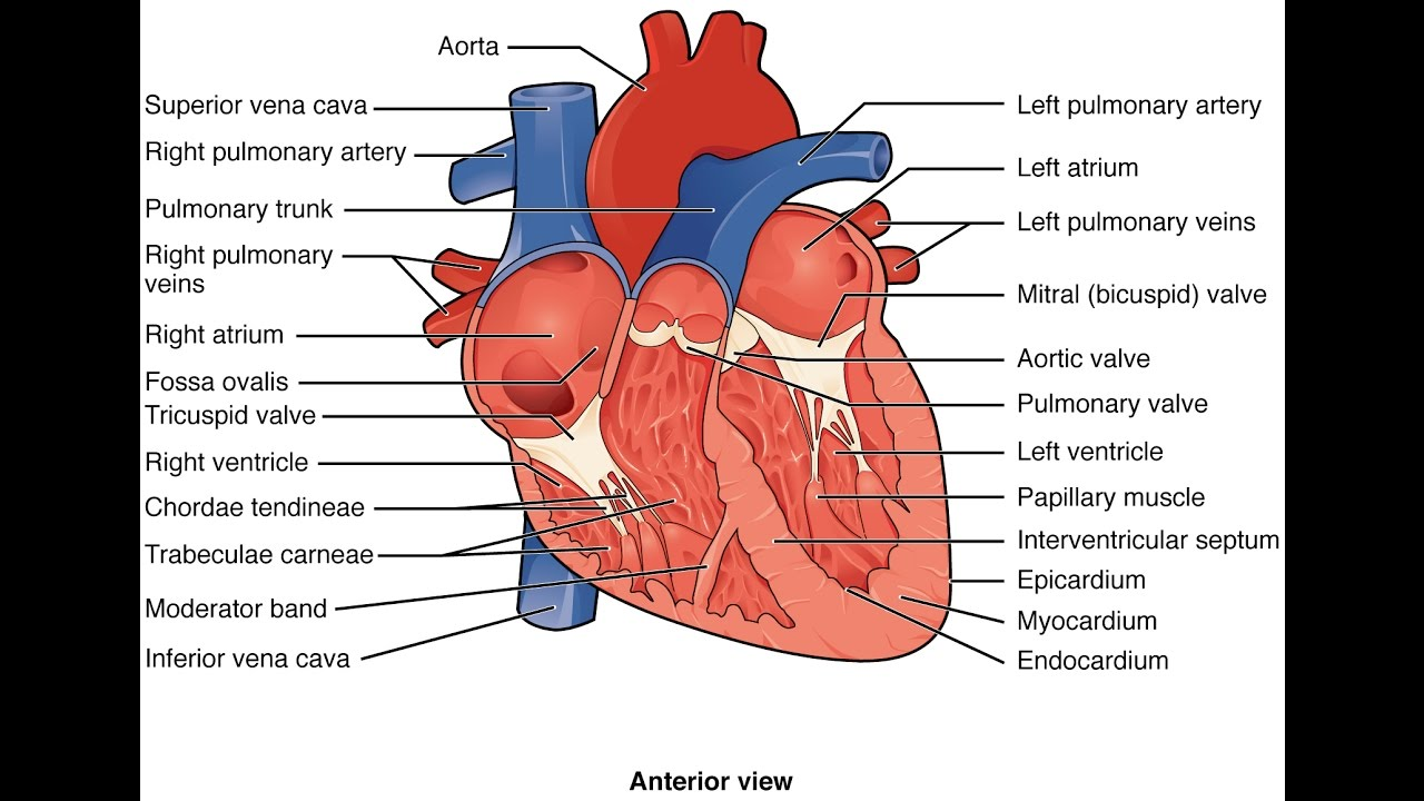 The heart external and internal anatomy - YouTube