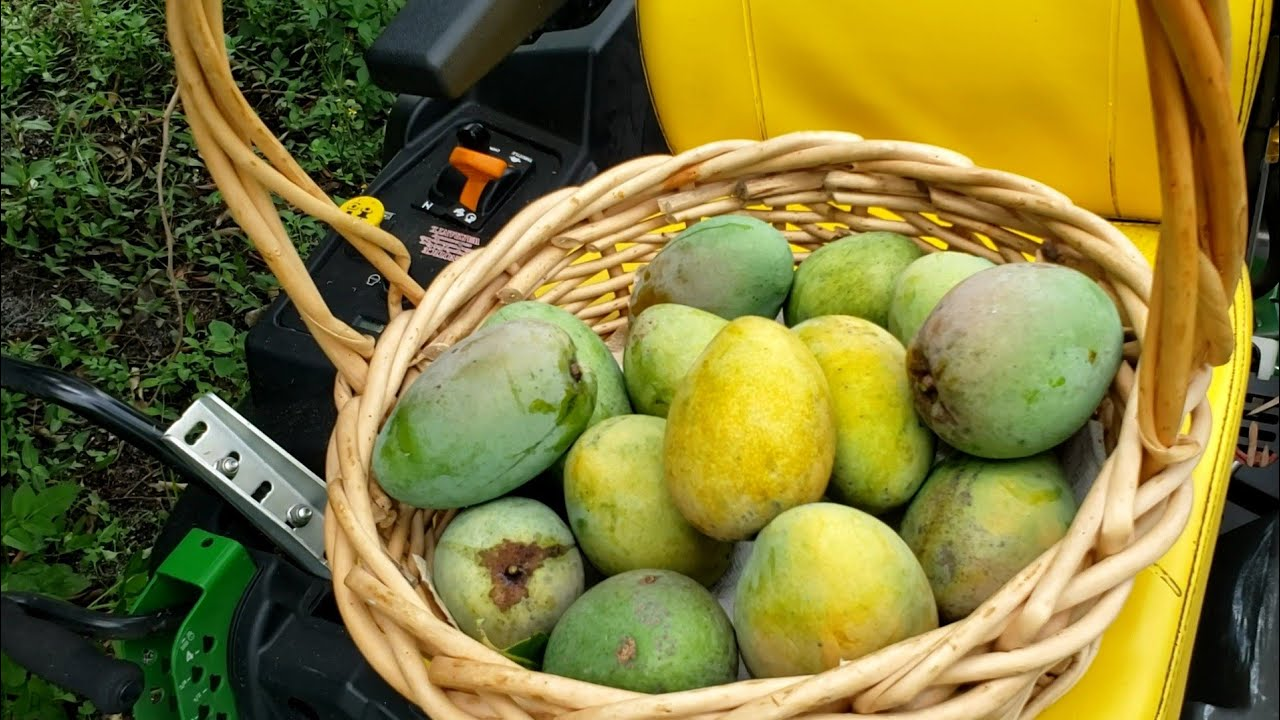 Harvesting more mangoes and mowing (Late upload)