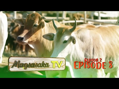 Episode 8 Cattle Raising - Angas Beef