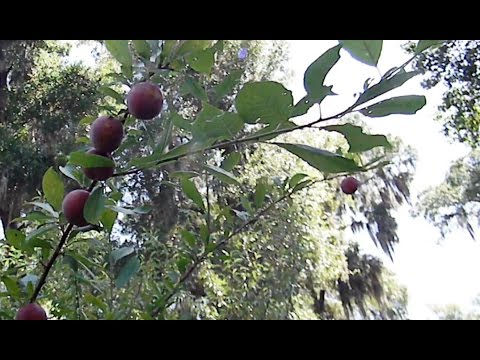 Nectarines, Peaches and Plums Grafted onto a Wild Plum