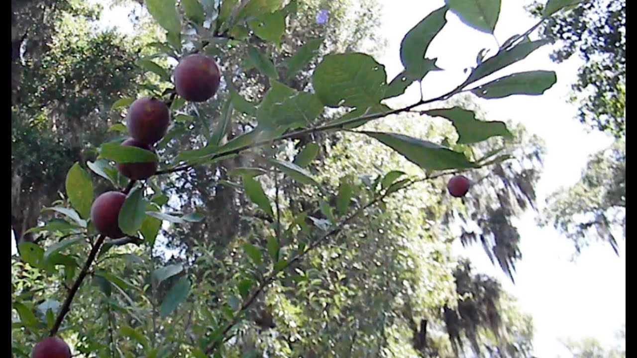 Nectarines peaches and plums grafted onto a wild plum youtube - Graft plum tree tips ...