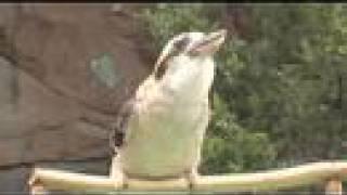 Kookaburra calls-Cincinnati Zoo