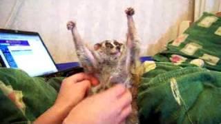 Loris liebt Kitzeln ein Lustig Video