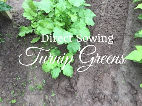 HD How To Grow Turnip Greens By Direct Sowing