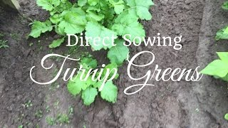 How To Grow Turnip Greens (PROGRESSION) Growing Guide