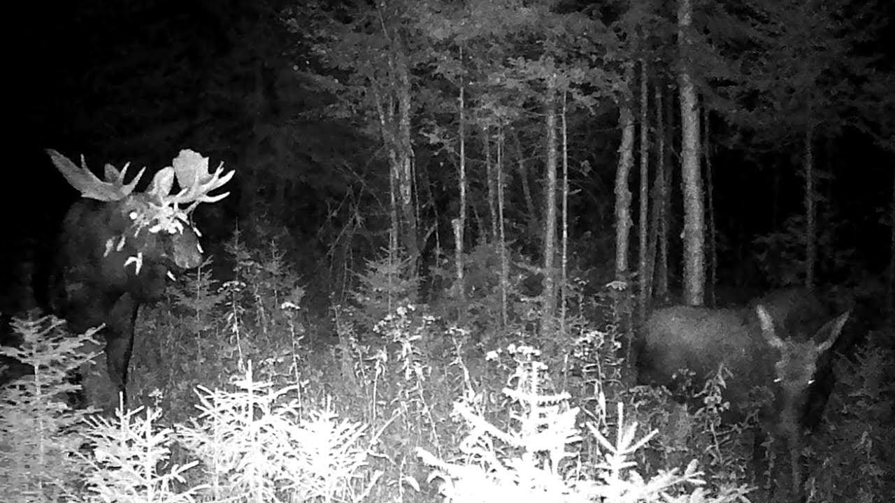 Maine Moose in Rut