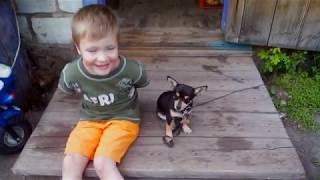 Сережа и крошечный пёс чихуахуа / Видео