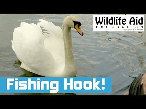 Swan with Fishing Tackle Caught on its Tongue