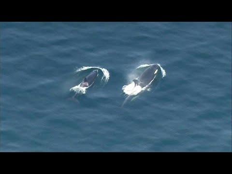 Orcas procuram peixe no estado de Washington