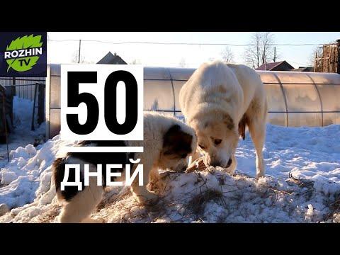 ЩЕНКИ АЛАБАЯ 50 ДНЕЙ