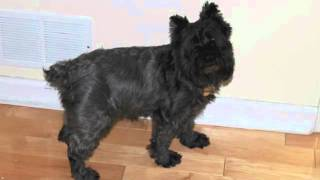 Tail Topicscom Dog Site Fun Miniature Schnauzer