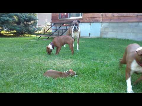 Red Boston Terriers Playing, Puppies And Adults