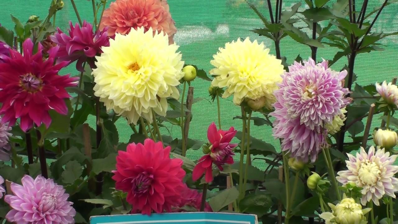 Dahlia Flower Varieties Youtube