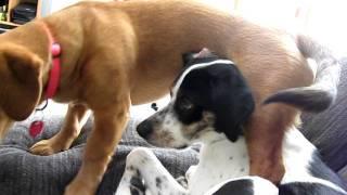 Dachshund German Shepherd Mix Walks All Over My Pointer Beagle Mix!