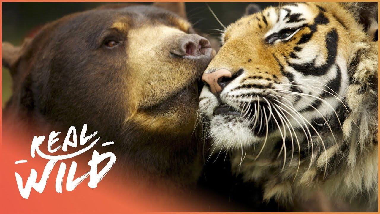 Las Relaciones Animales Más inverosímiles Del Mundo   Extrañas Parejas De Animales   Real Wild