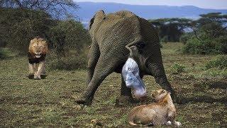 ライオンとワニは、母親の象が出産した後、新生児の象を盗もうとする.