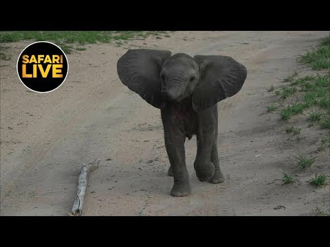 safariLIVE - Sunset Safari - January 11, 2019