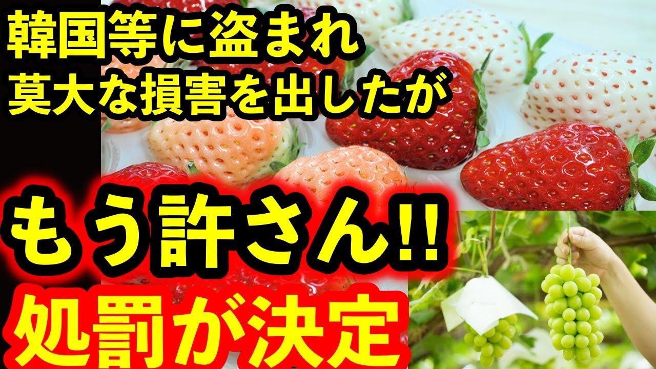 韓国など近隣諸国に盗まれ続けた日本の名品を守る…政府が発表した処罰とは…シャインマスカットを栽培していた韓国の農家のコメンントから見えた図太さ