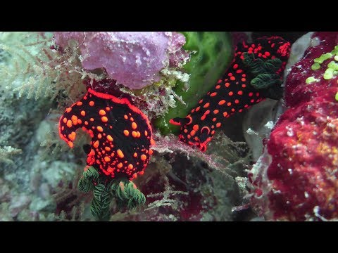 Diving in the Maldives,  November 2017 - Deep south atolls &  N. Male atoll