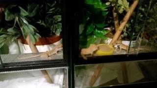 G002 - Eating crested geckos
