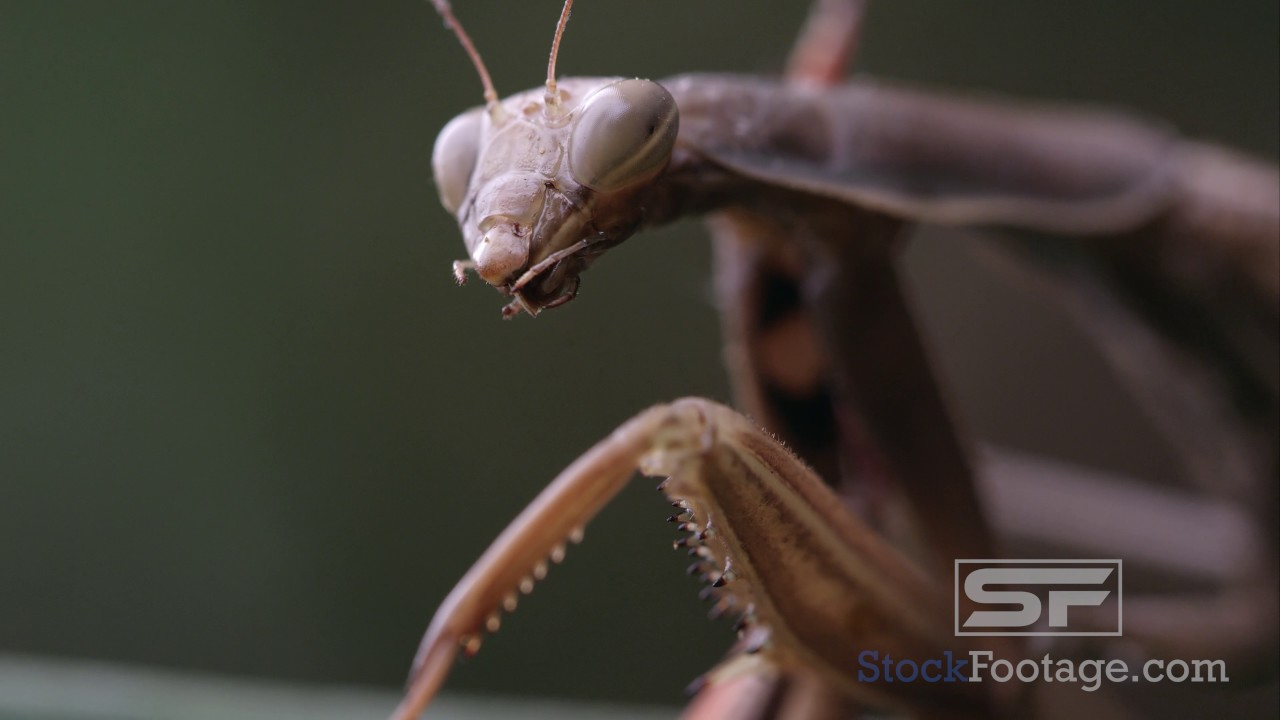 Praying mantis with parts of a grasshopper in its mandibles - YouTube