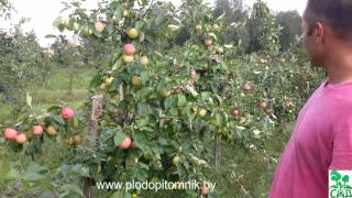 увеличение размера яблок после нормирования урожая на яблоне