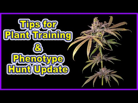 How To Get Higher Yield And Quality, And Cannabis Phenotype Hunt Update || S4 Grow Log Week 2 Day 12