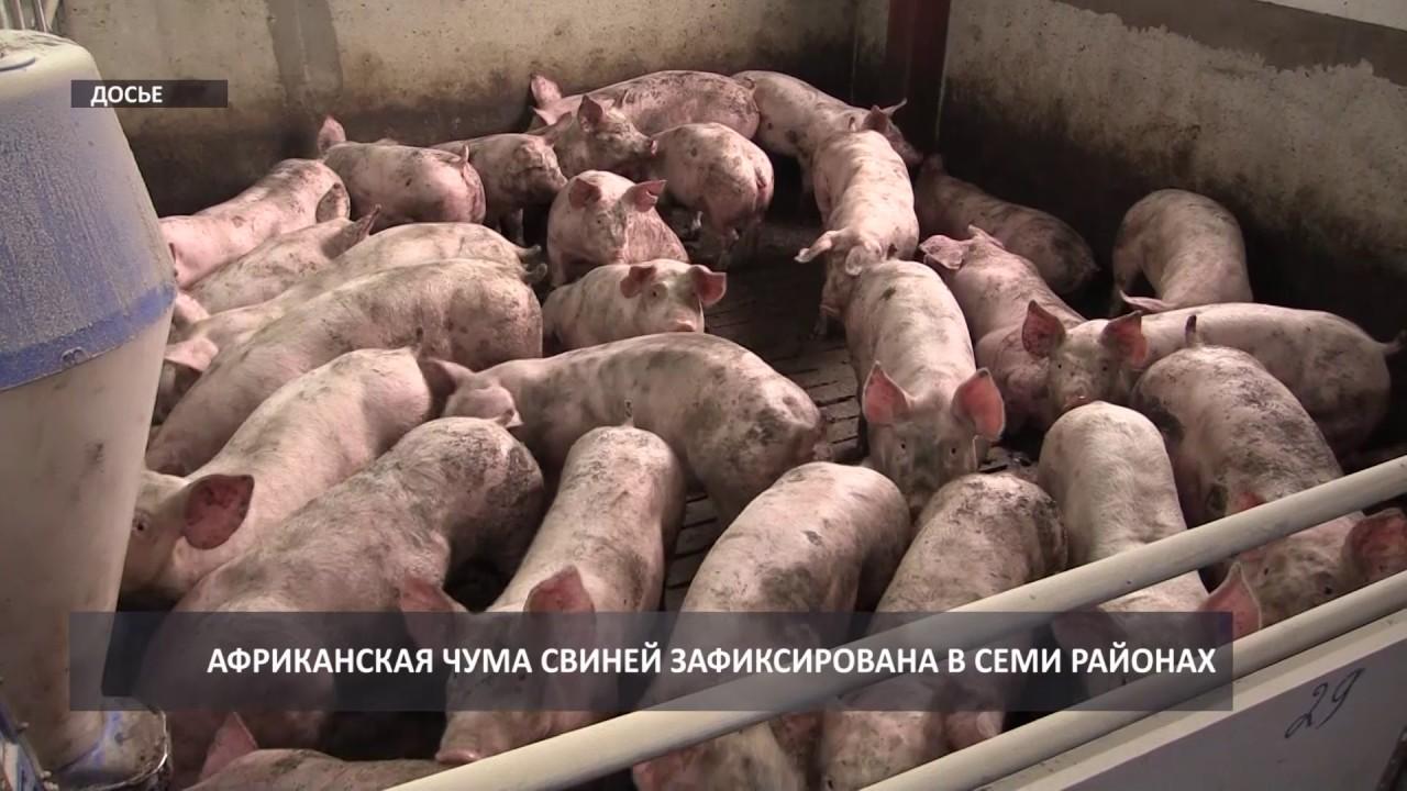 Фридом Фарм Бекон: Племенные свиньи породы 'Дюрок' - YouTube