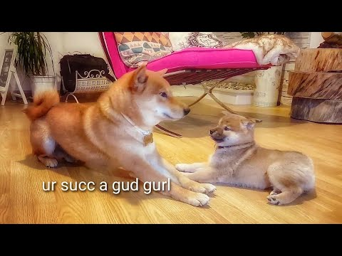 Shiro isn't that bad after all - Shiba Inu puppies (with captions)