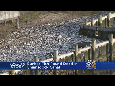 Dead Fish In Hamptons Canal