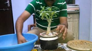 Making of adenium bonsai tree in hindi.