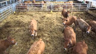 Drone au dessus des vaches parthenaise  Domaine de la Brousse