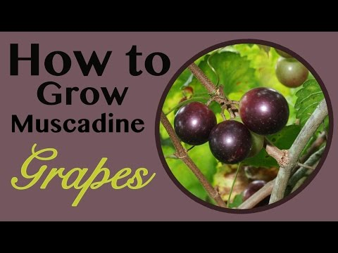 How To Grow Muscadine