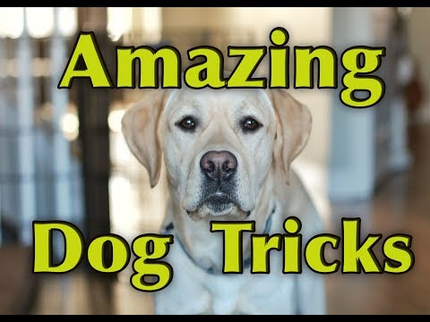 AMAZING DOG TRICKS - Watson the Labrador Retriever