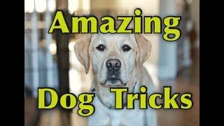 AMAZING DOG TRICKS - Watson the Labrador Retriever