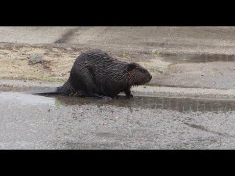 Beaver prowling the streets of Wet Western Ottawa 28th April 2018