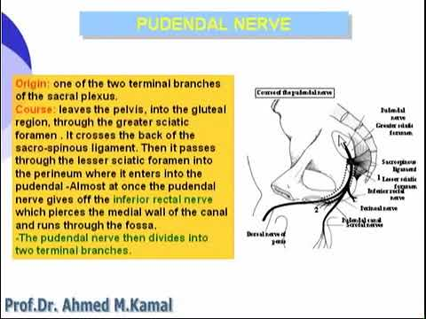 Pudendal Nerve Neuralgia explained by Dr. Massimo Cristaldi.