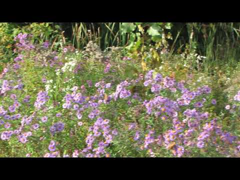 Painted Lady Butterflies  on New York Asters