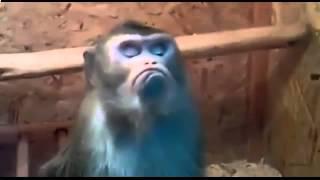 Обиженная обезьяна   смотреть бесплатные видео приколы онлайн