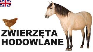 Learn Polish Vocabulary - Farm animals 1 (Zwierzęta hodowlane)