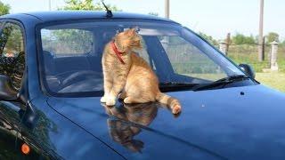 Кот едет  по кладбищу на капоте   Cat Rides On Hood