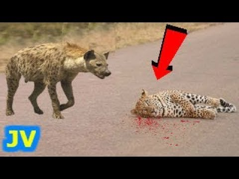 LEOPARD vs HYENA ►► Nature & Wildlife Compilation – Eagle Snake Elephant Rhino Puma Bear Tiger Boar