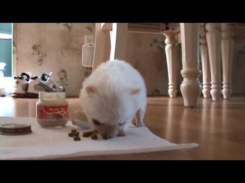 Chihuahua eating Baby food
