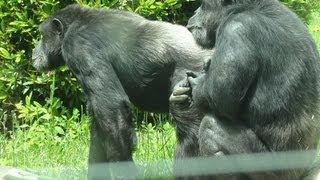 Zoo de St Martin la Plaine  -  le chimpanzé