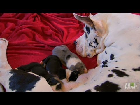 Tiny Great Danes | Too Cute!