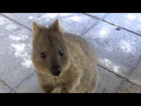 Как живет кенгуру Квокка, которая постоянно улыбается